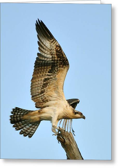 Greeting Card featuring the photograph Osprey After Flight by Rick Frost