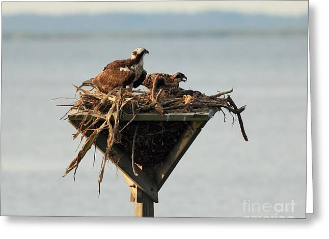 Osprey And Chicks Greeting Card