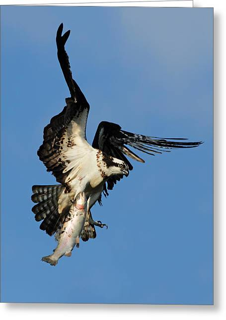Osprey And Rainbow Trout Greeting Card by Mircea Costina Photography