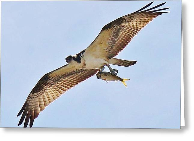 Osprey Carrying His Lunch Greeting Card by Paulette Thomas