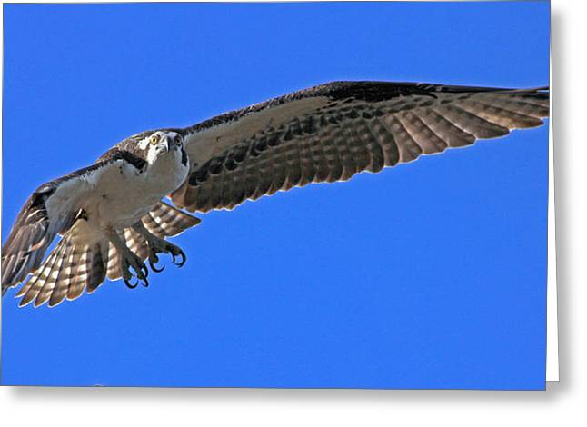 Greeting Card featuring the photograph Osprey Flight by Larry Nieland