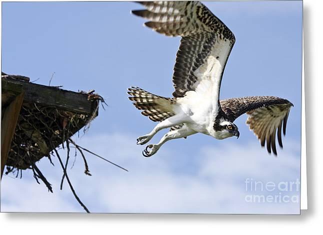 Osprey Flying From Nest Greeting Card by John Van Decker
