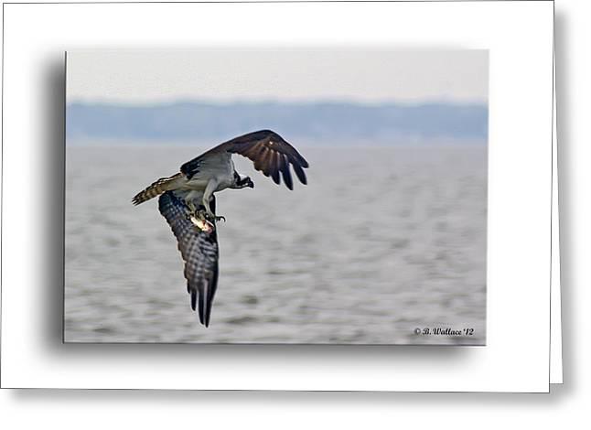 Osprey Grab Greeting Card by Brian Wallace
