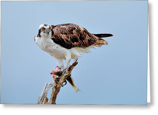 Osprey In The Morning Greeting Card