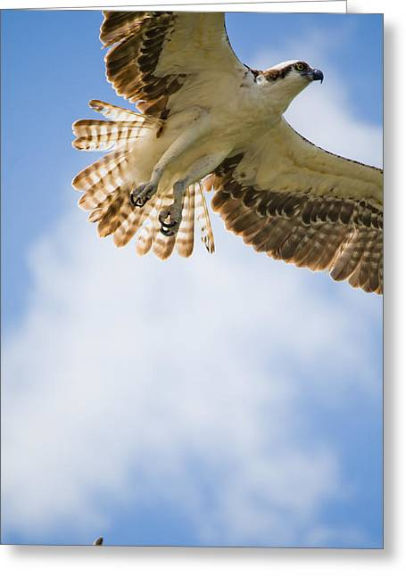 Osprey Greeting Card by Mike Rivera