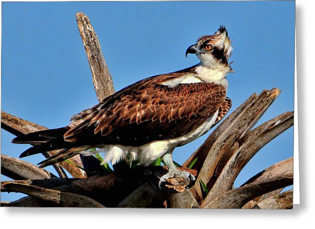 Osprey On A Windy Morning Greeting Card