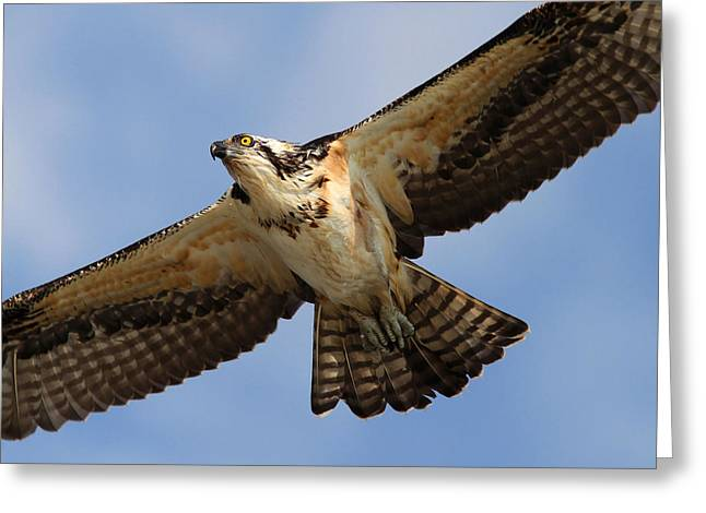Osprey Greeting Card by Phil Lanoue