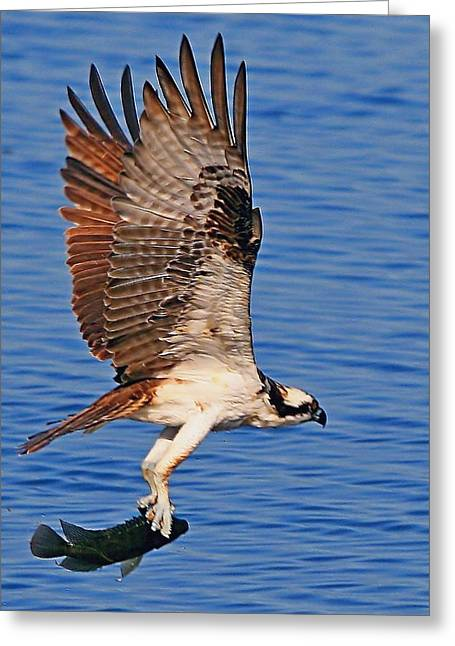 Osprey With A Fish Greeting Card