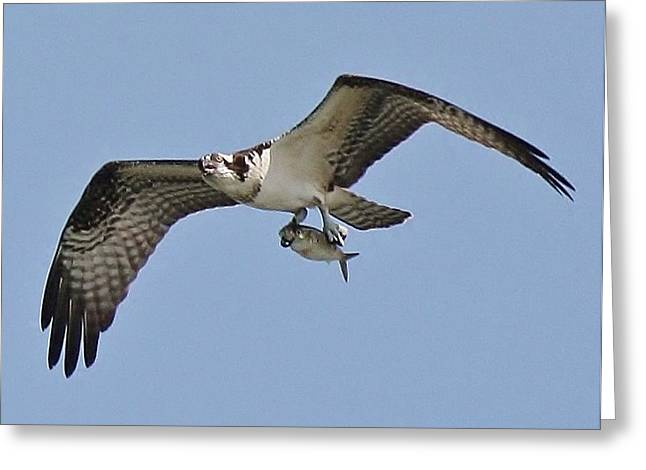 Osprey With The Catch Of The Day Greeting Card by Paulette Thomas
