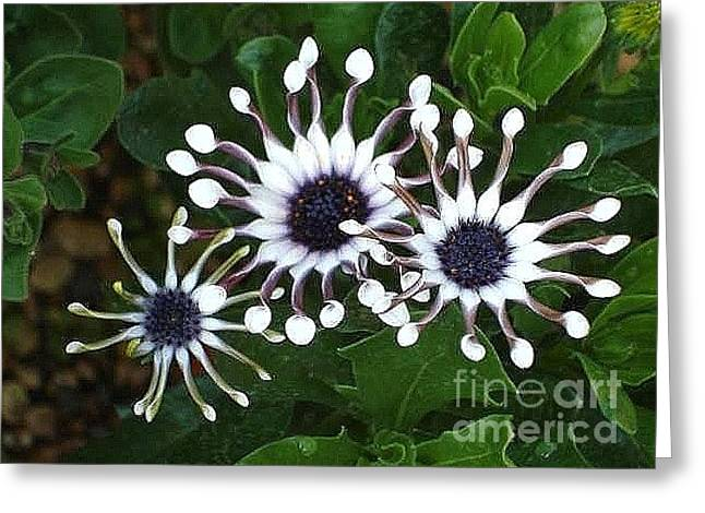 Greeting Card featuring the photograph Osteospermum by Katy Mei