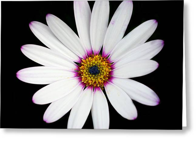 Osteospermum Greeting Card by Victoria Wise