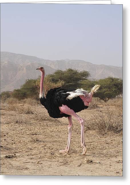 Ostrich In A Nature Reserve Greeting Card by Photostock-israel