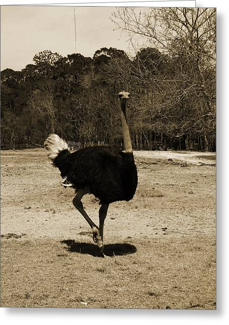 Ostrich Greeting Card by Pamela Stanford
