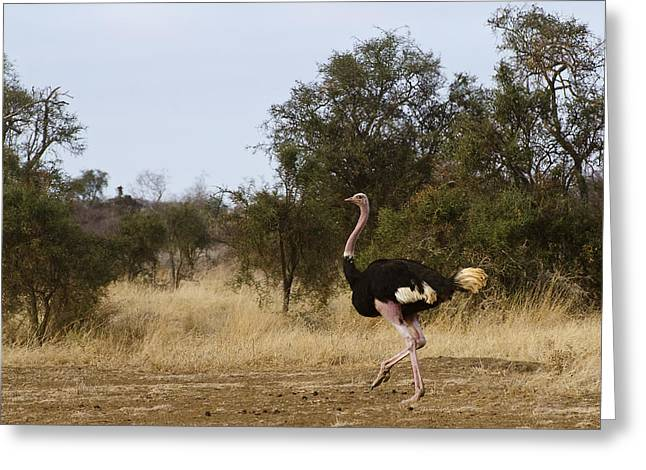 Ostrich Prance Greeting Card by Marion McCristall