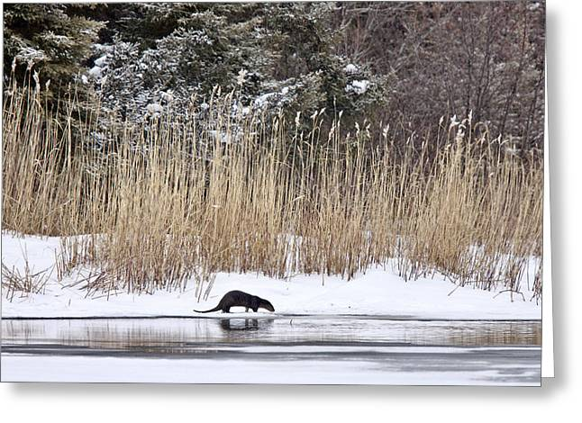 Otter In Winter Greeting Card by Mark Duffy