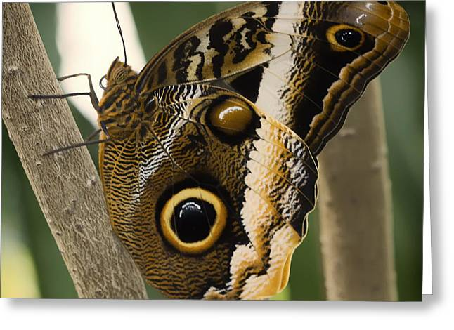Owl Butterfly 1 Greeting Card by Bill Tiepelman