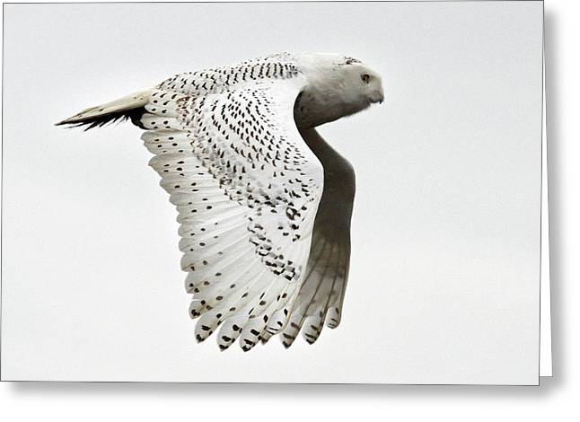Owl In Flight Greeting Card by Pierre Leclerc Photography