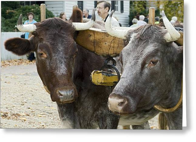 Oxen Pair Greeting Card