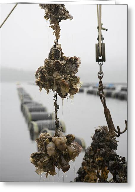 Oysters Pulled Up From A Farm Covered Greeting Card by Taylor S. Kennedy