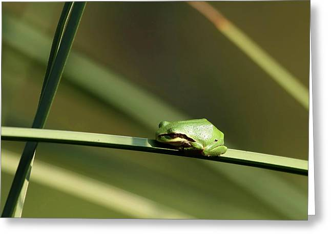 Pacific Tree Frog Greeting Card by Angie Vogel