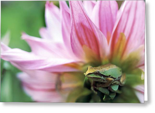 Pacific Tree Frog In A Dahlia Flower Greeting Card by David Nunuk