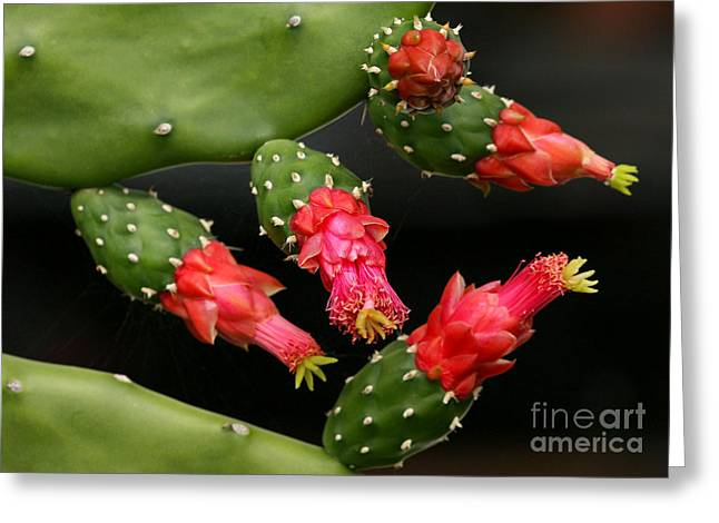 Paddle Cactus Flowers Greeting Card by Sabrina L Ryan