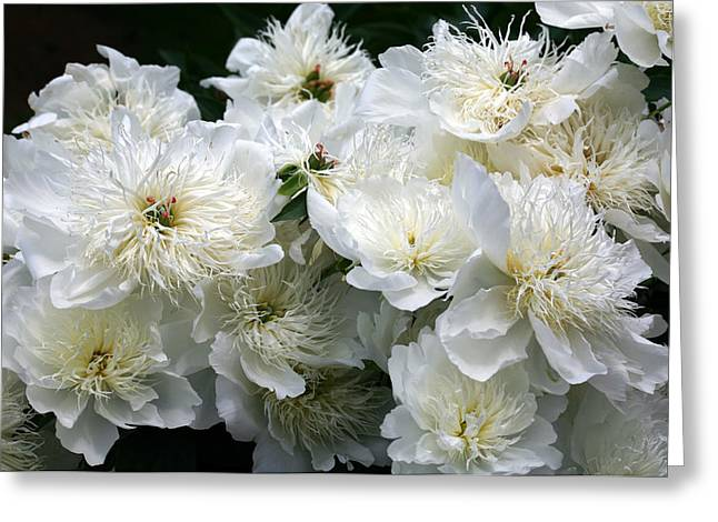 Paeonia Brides Dream by Diane Dua