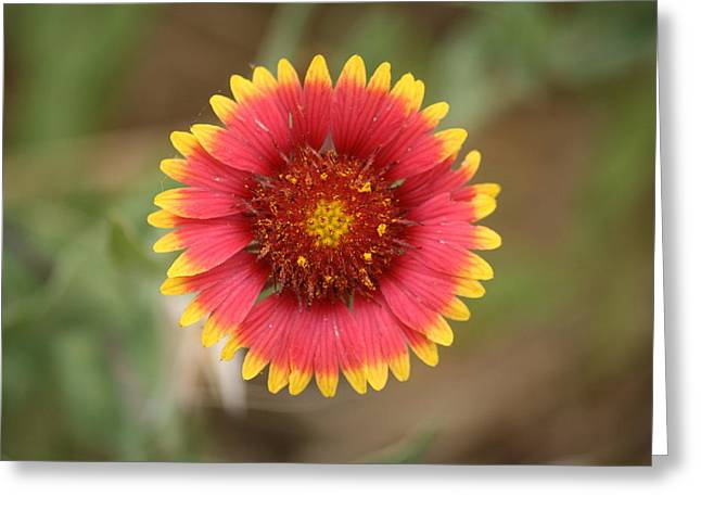 Painted Blanket Flower Greeting Card