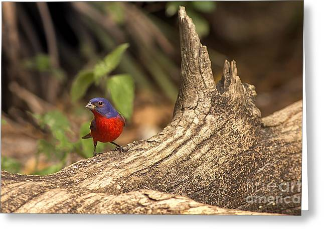 Painted Bunting On Log Greeting Card by Anne Rodkin