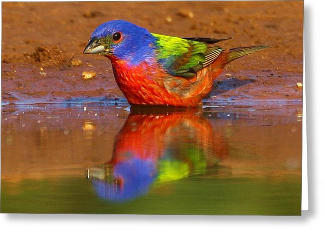 Greeting Card featuring the photograph Painted Bunting Reflecting by Myrna Bradshaw