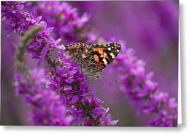 Painted Lady 2 Greeting Card by Michel DesRoches