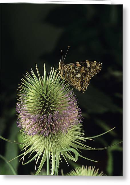 Painted Lady Butterfly Greeting Card by David Aubrey