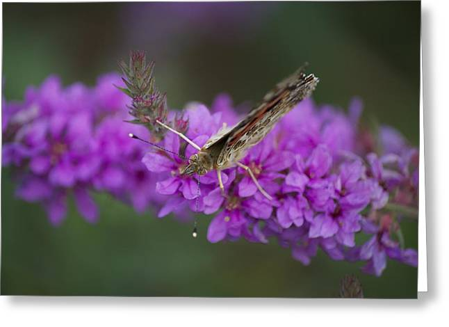Painted Lady Looking Greeting Card by Michel DesRoches