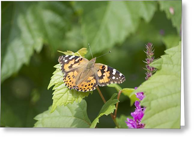 Painted Lady Greeting Card by Michel DesRoches