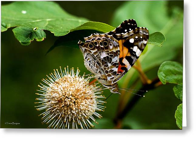 Greeting Card featuring the photograph Painted Lady On Button Bush by Travis Burgess