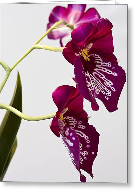 Greeting Card featuring the photograph Painted  Orchid L by Shirley Mitchell