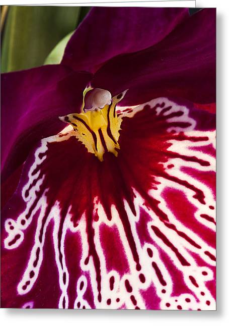 Greeting Card featuring the photograph Painted Orchid Ll by Shirley Mitchell
