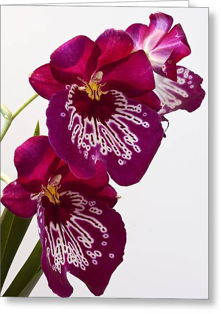Painted Orchid Greeting Card by Shirley Mitchell