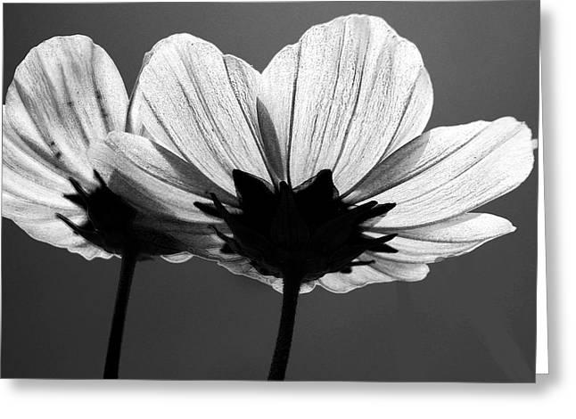 Pair Of Cosmia Flower Greeting Card by Sumit Mehndiratta