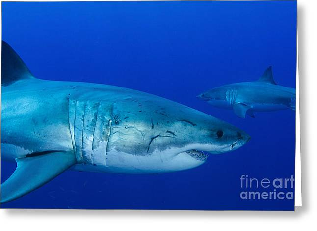 Pair Of Male Great White Sharks Greeting Card by Todd Winner