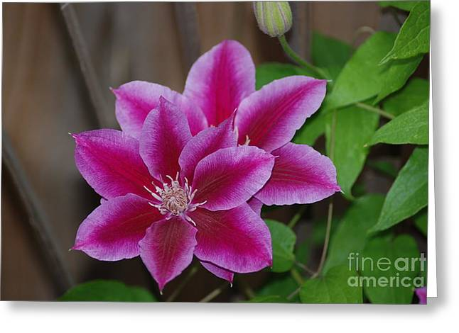 Pair Of Pink Clematis Greeting Card