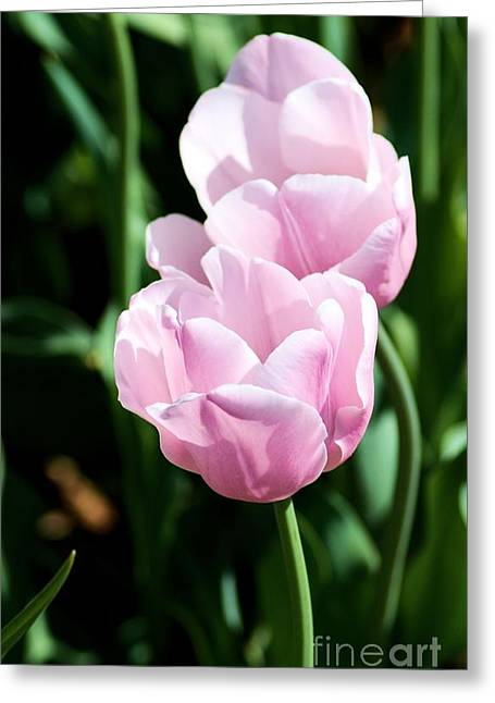 Pair Of Pink Tulips Greeting Card
