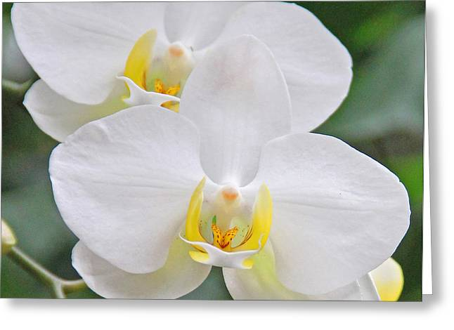 Pair Of White Orchids Greeting Card