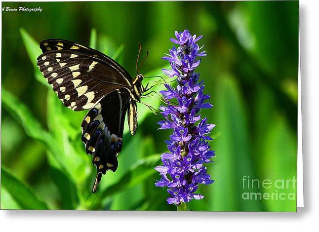 Palamedes Swallowtail Butterfly Greeting Card by Barbara Bowen