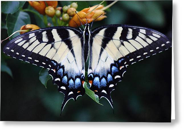 Pale Swallowtail Butterfly-3 Greeting Card by Barry Jones
