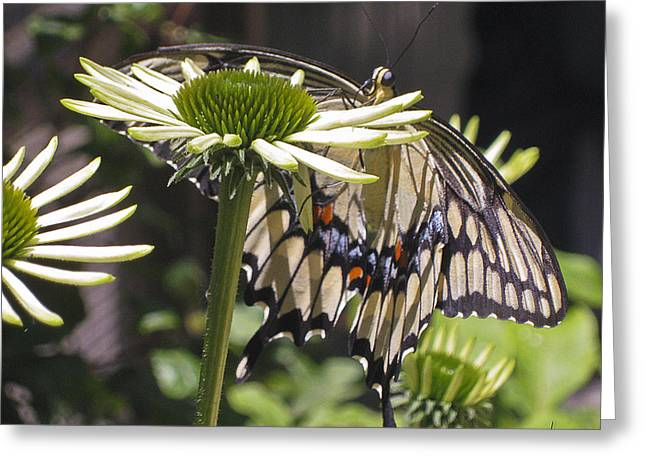 Pale Swallowtail Greeting Card