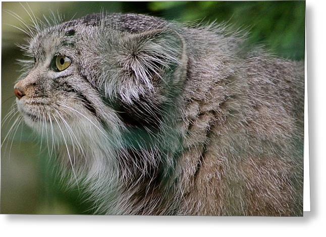 Pallas Cat Greeting Card by Karen Grist