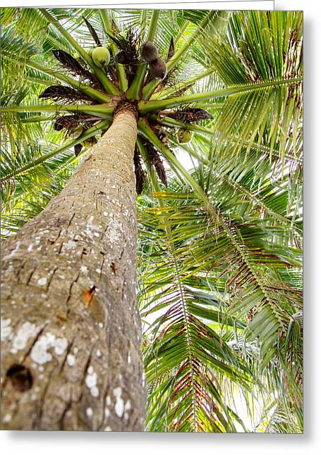 Palm Tree From Below With Coconut Fruit Greeting Card by Anya Brewley schultheiss
