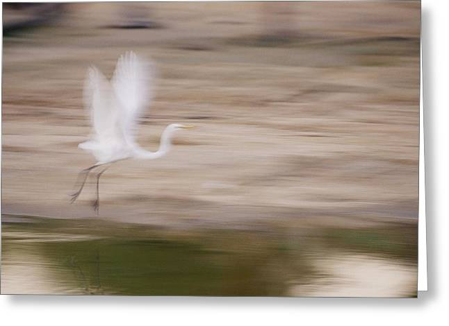 Panned View Of A Great Egret Ardea Alba Greeting Card by Jason Edwards