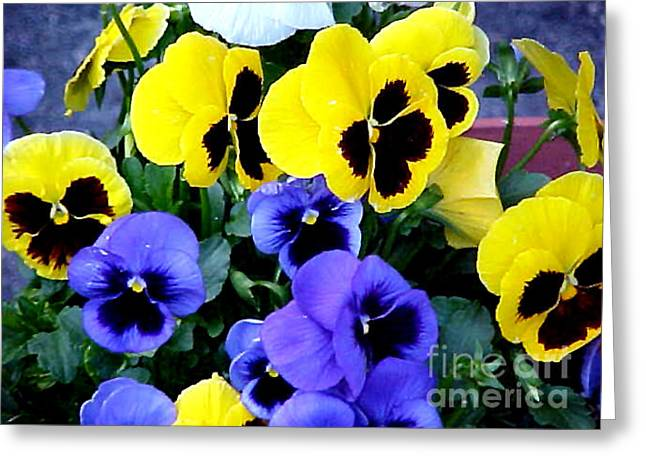 Pansies Greeting Card by John From CNY